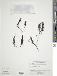 Trichomanes polypodioides L.