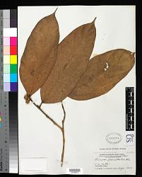 Ficus parietalis Blume