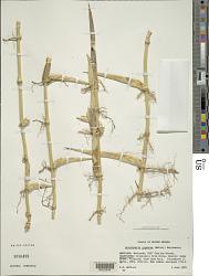 Arundinaria gigantea (Walter) Muhl.