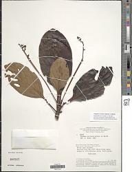 Pagamea coriacea Benth.