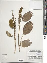 Dioclea hexandra (Roxb.) Mabberly