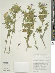 Tetramerium abditum (Brandegee) T.F. Daniel