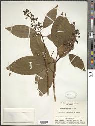 Miconia laevigata (L.) D. Don