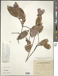 Calophyllum ferrugineum Merr.