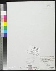 Aegagropila muscoides var. armeniaca Wittr. in Wittr. & Nordst.