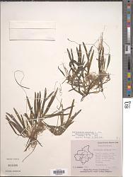 Vallisneria spiralis var. denseserrulata Makino