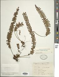 Terpsichore asplenifolia (L.) A.R. Sm.