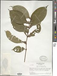 Maieta guianensis Aubl.