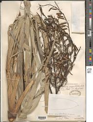 Pitcairnia angustifolia Sol. ex Aiton var. angustifolia