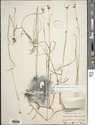 Rhynchospora harveyi W. Boott