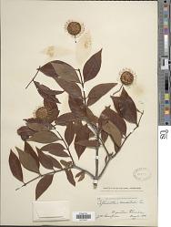 Cephalanthus occidentalis L.