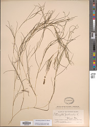 Stuckenia pectinata (L.) Börner