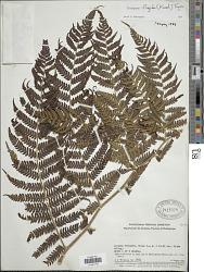Cyathea frigida (H. Karst.) Domin