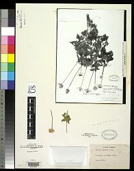 Encelia anomala M.E. Jones