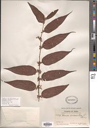 Trema micrantha (L.) Blume