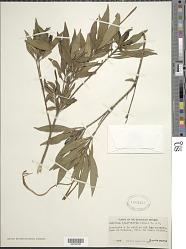 Exostema longiflorum (Lamb.) Roem. & Schult.