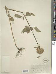 Leonotis nepetifolia (L.) W.T. Aiton