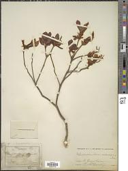 Rhododendron arborescens