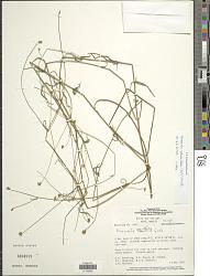 Riencourtia pedunculosa (Rich.) Pruski