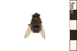 Urban Bluebottle Blowfly