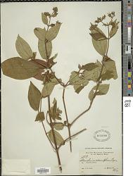 Tibouchina adenophora Cogn.