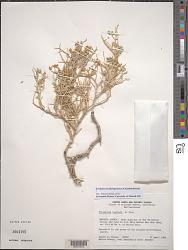 Pilostyles thurberi A. Gray