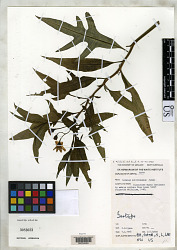 Solanum multivenosum Symon