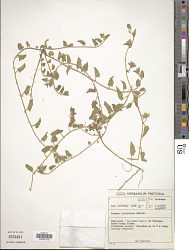 Ipomoea hackeliana (Schinz) Hallier f.
