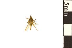 Saltmarsh Mosquito