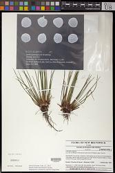 Isoetes prototypus D.M. Britton