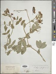 Lathyrus pisiformis L.