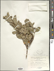 Cloezia floribunda Brongn. & Gris