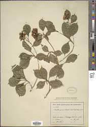 Blakea gracilis Hemsl.