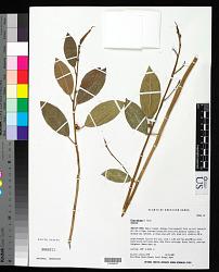 Ficus obliqua G. Forst.