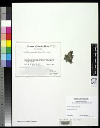 Xanthoparmelia tenuiloba Hale