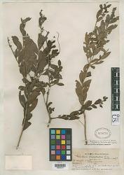 Melaleuca leucadendra f. ruscifolia Cheel in Ewart & O.B. Davies