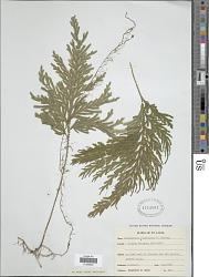 Selaginella flabellata L.