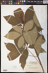 Aesculus pavia L.