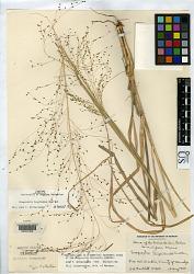 Eragrostis longiramea Swallen