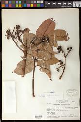 Trattinickia rhoifolia