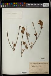 Croton stanneum Baill.
