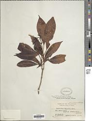 Psychotria gitingensis Elmer