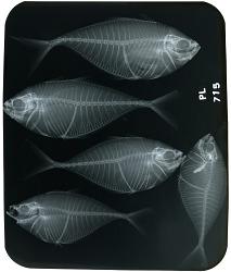Think Blue: Fish X-Rays