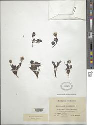 Globularia incanescens Viv.