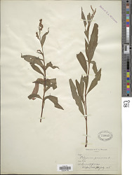 Polygonum persicaria L.