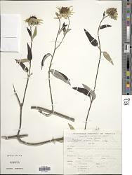 Pappobolus robinsonii Panero
