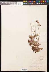 Eriogonum marifolium Torr. & A. Gray