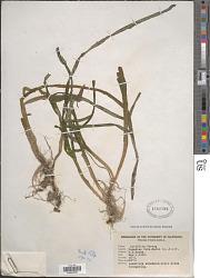 Zostera marina var. latifolia L.