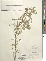 Prosopis juliflora (Sw.) DC.