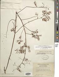 Desmanthus illinoensis (Michx.) MacMill.